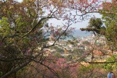 Okinawa Photo/Sakura in Nago City