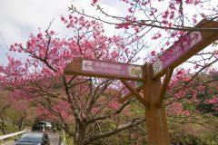 Okinawa Photo Sakura in Nago City