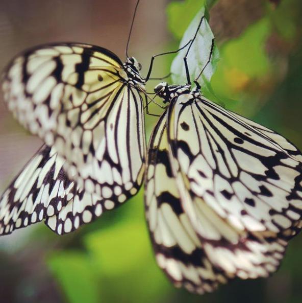 オオゴマダラ、日本最大級の蝶
